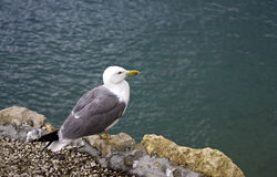 Seagull on the cliff Royalty Free Stock Photo