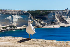 Seagull on cliff above the sea. White seagull waiting for food on cliff, above sea royalty free stock photo