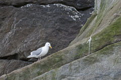 Seagull on cliff face Royalty Free Stock Images