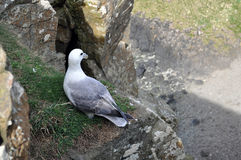 Seagull cliff. Ireland black and white Royalty Free Stock Photos