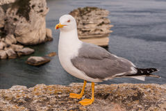 Seagull on a cliff near Bonifacio. Bonifacio, old town at sea cl Stock Photos