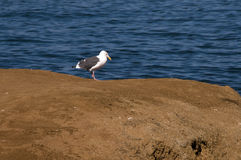 Seagull on a cliff Stock Image