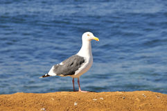 Seagull on a cliff royalty free stock photo