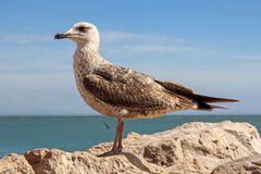 Seagull on cliff with sea in the bacground Royalty Free Stock Images