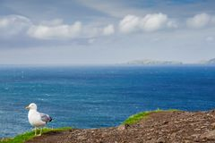 Seagull on a Cliff Stock Photography