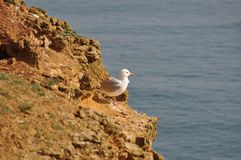 Seagull on the cliff. Stock Photography