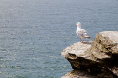 Seagull on cliff top Royalty Free Stock Photo