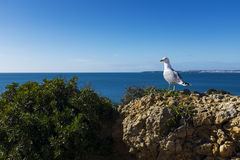 Seagull in the cliffs around the scenic Praia dos Tres Irmaos in Alvor, Algarve Royalty Free Stock Photography