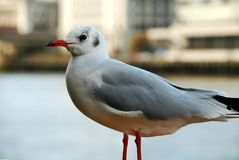 Seagull close-up Stock Photo