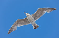 Free Seagull Close Up Stock Photos - 14156293