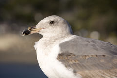 Seagull. Close up Beautiful Gray Seagull Royalty Free Stock Photo