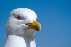 Seagull close up and blue sky. Stock Photos