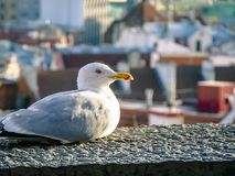 Seagull close up with city view behind Royalty Free Stock Photo