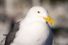 Seagull. Close up Seagull with colorful bright yellow mouth and eyes Royalty Free Stock Images