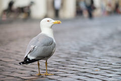 Seagull. Close up Seagull with colorful bright yellow mouth and eyes Stock Images