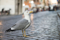Seagull. Close up Seagull with colorful bright yellow mouth and eyes Royalty Free Stock Photos