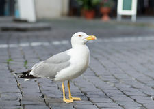 Seagull. Close up Seagull with colorful bright yellow mouth and eyes Royalty Free Stock Image