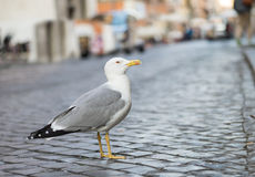 Seagull. Close up Seagull with colorful bright yellow mouth and eyes Stock Photos