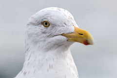 Seagull. A seagull close up, eye's details Royalty Free Stock Photos