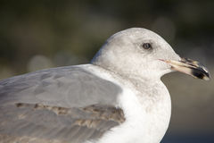 Seagull. Close up Seagull looks on the back and side Royalty Free Stock Photography