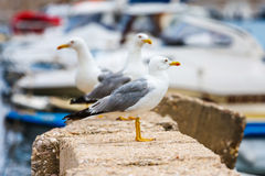 Seagull, close up Royalty Free Stock Image
