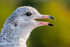 Seagull close up portrait Stock Photography