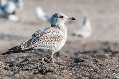 Seagull close up portrait Royalty Free Stock Photos