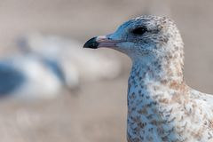 Seagull close up portrait Royalty Free Stock Image