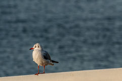 Seagull Close-up At Sunset. Seagull,pictured at Lough Leane Lake,Kerry,Ireland Stock Photo