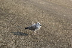 Seagull close up. A tired seagull takes a break Stock Photos