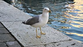 Seagull close up - close-up view of a seagull standing on a Venetian jetty royalty free stock photography