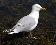 Seagull Stock Photos