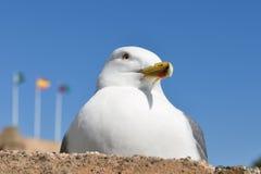 Seagull close up Royalty Free Stock Photos