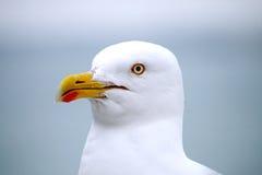 Seagull closeup. The face of a seagull Stock Image
