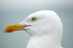 Seagull closeup. The face of a seagull Royalty Free Stock Photos