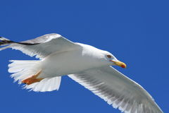 Seagull CloseUp. A closeup shot of a seagull flying over me Stock Images