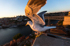 Seagull closeup on the background of Douro river, Porto Stock Photography