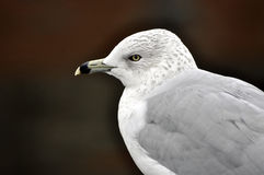 Seagull Closeup. Closeup of a seagull in Baltimore Stock Photo