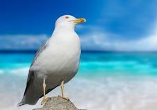 Seagull closeup Royalty Free Stock Photography