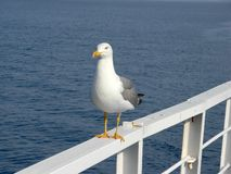 Seagull closeup Royalty Free Stock Photography