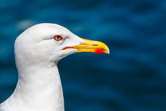 Seagull Closeup Royalty Free Stock Images
