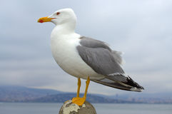 Seagull closeup Royalty Free Stock Image
