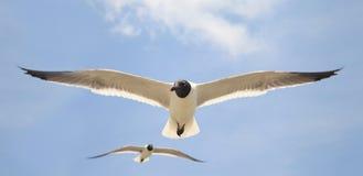 Seagull Closeup. Closeup of Seagull in flight Royalty Free Stock Image