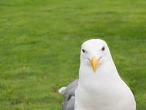 Seagull Closeup Stock Photo