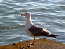 Seagull closeup på en seagull royaltyfri fotografi