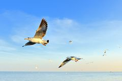 Seagull. Closeup seagulls action in nature Royalty Free Stock Photography