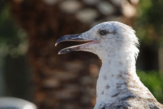 Seagull. Closeup of young yellow-legged gull Royalty Free Stock Images