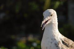 Seagull. Closeup of young yellow-legged gull Stock Photography