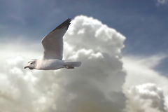 Seagull in Clouds Stock Photography