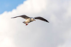 Seagull in the  clouds Stock Photos